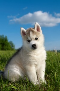 Cute husky puppy outdoors on the grass