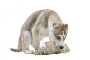Siberian Husky puppy chewing on a toy