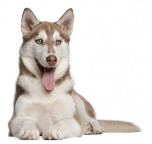 4 month old red Siberian Husky puppy