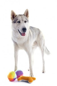Exercising a Siberian Husky with toys and playtime