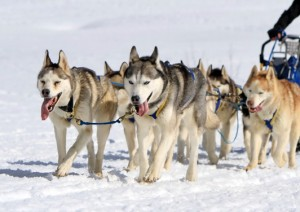 Pull training with Siberian Huskies for sledding and mushing