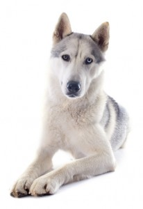 Siberian Husky - independent but still gentle and loving