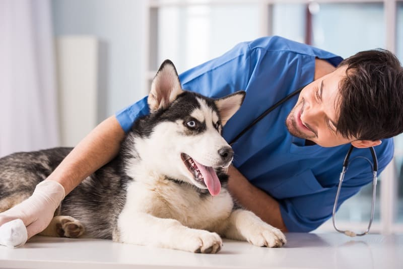 Happy Siberian Husky after immunization shot
