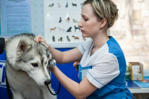 Siberian Husky receiving vaccination shot