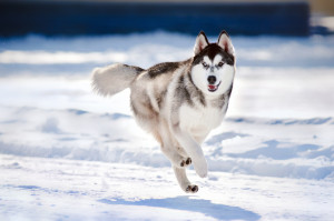 Siberian Husky Off Lead in Winter Snow
