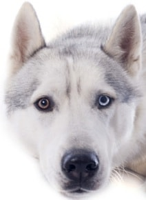 Siberian Husky with different colored eyes - bi-colored