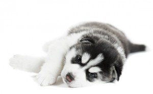 Baby husky puppy tired and lying down