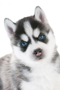 Baby husky puppy with striking icy blue eyes