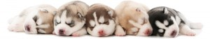Five sleeping baby husky puppies of different colors - red, brown, black, white