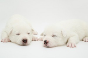 Two white baby husky puppies sleeping