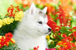 A Siberian husky puppy playing in flowers