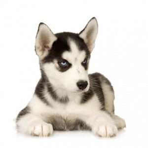Black and white siberian husky puppy