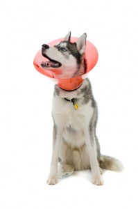 Sick Siberian Husky puppy with collar
