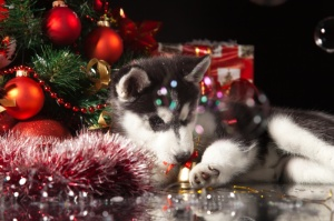 Siberian Husky Puppy Underneath the Christmas Tree