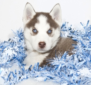 Christmas Husky Puppy Playing in Tinsel