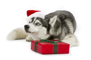 Siberian Husky with Christmas Gift