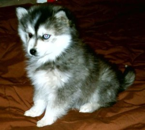 Miniature Siberian Husky Prices Breeders More