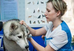 Siberian Husky at the Vet