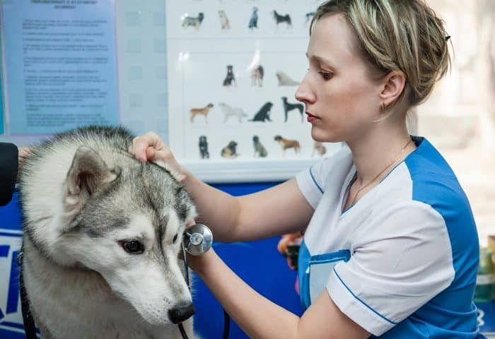 Siberian Husky at the Vet
