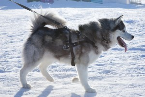 Siberian Husky with Harness Leash