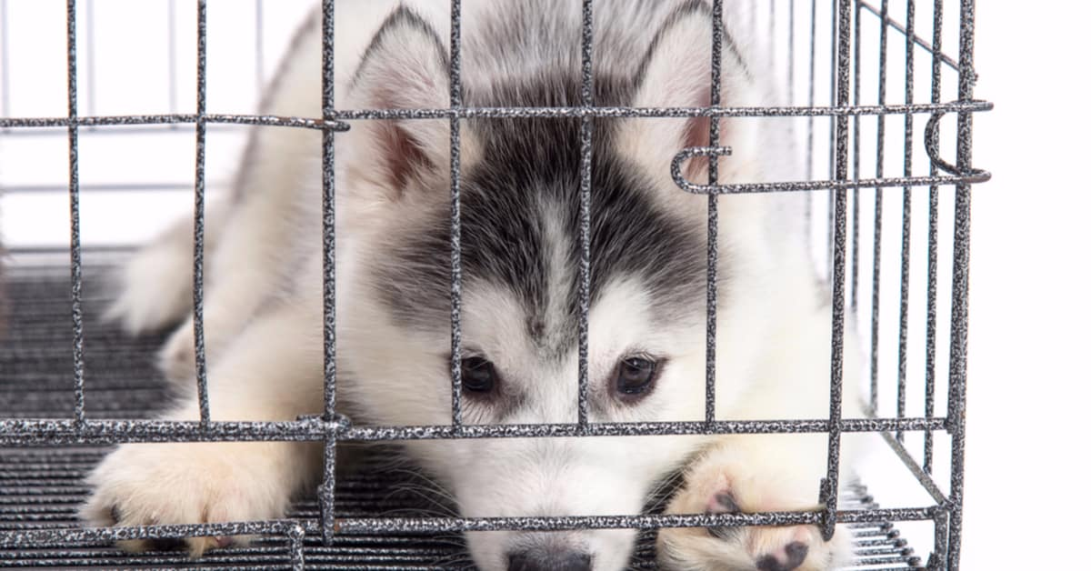 how to crate train a husky