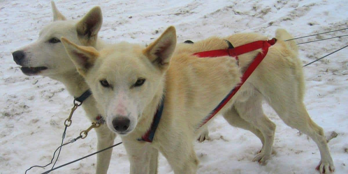 Alaskan-Huskies