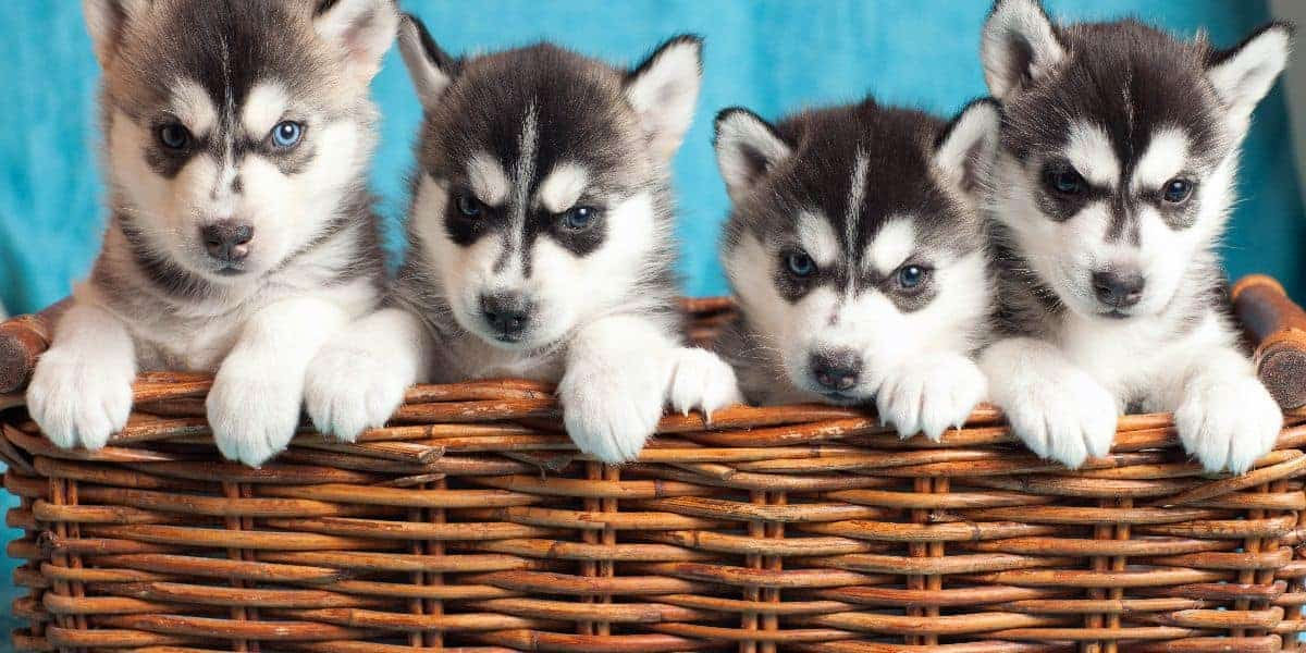 Choosing A Husky Puppy From A Litter