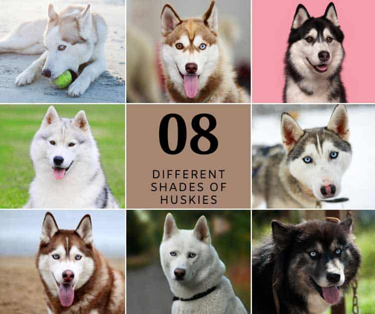 Eight shades of husky coat collage