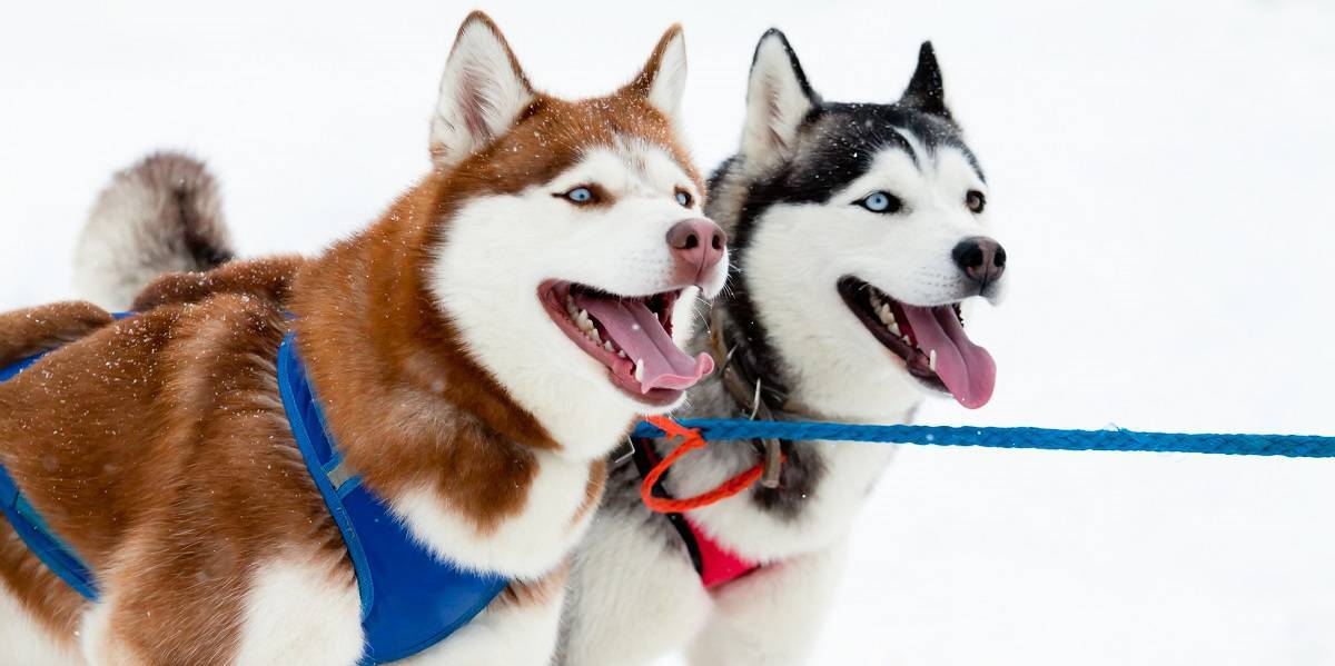 Siberian Husky Colors