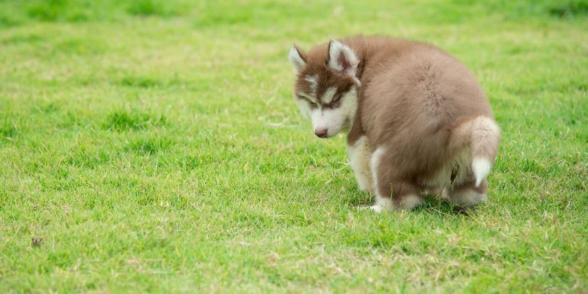 Husky-Potty-Training