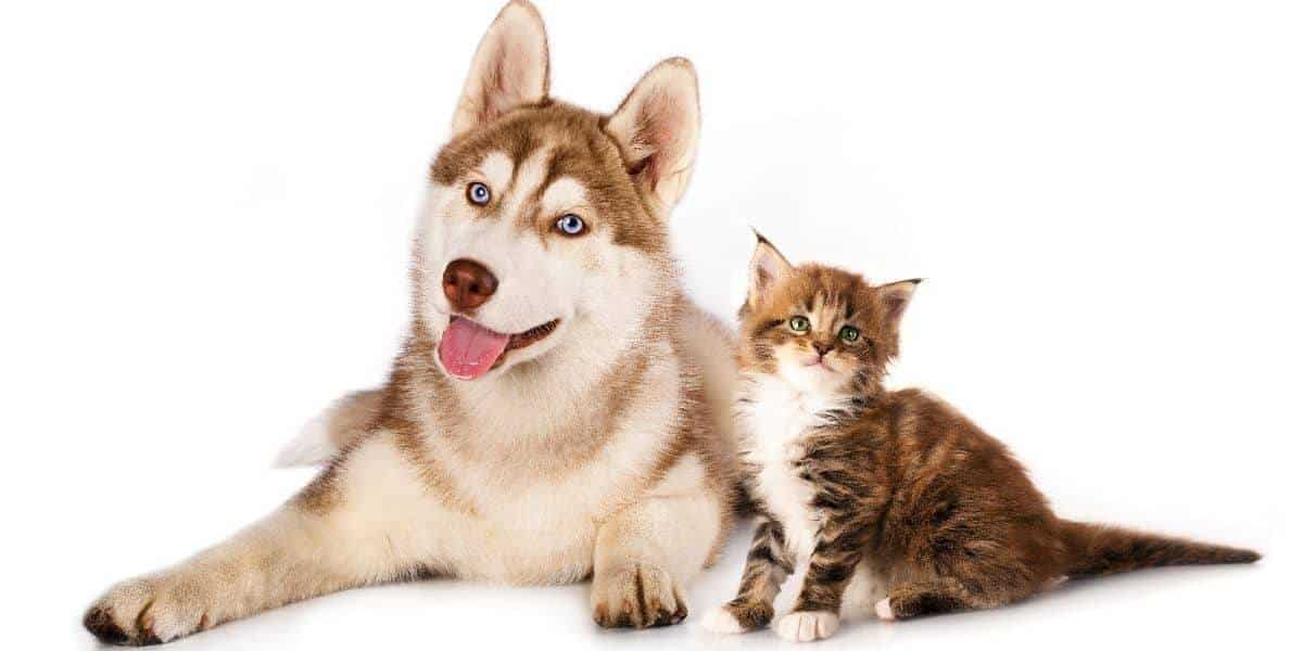 Introduce-a-husky-puppy-to-a-cat