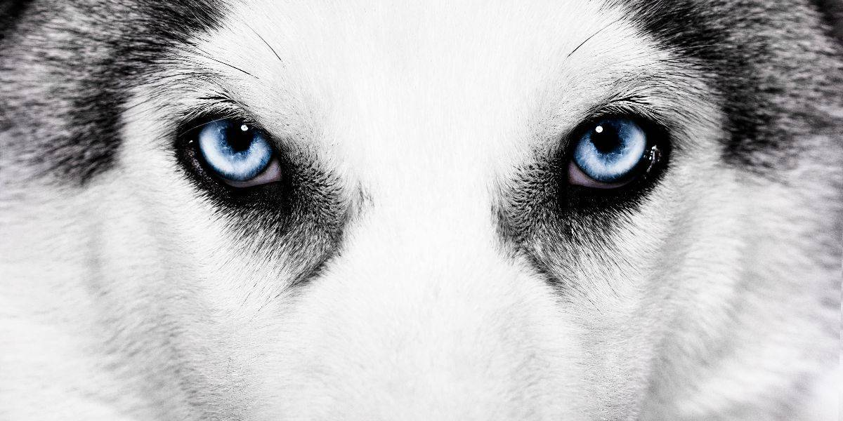Husky Eye Color: The Complete Guide