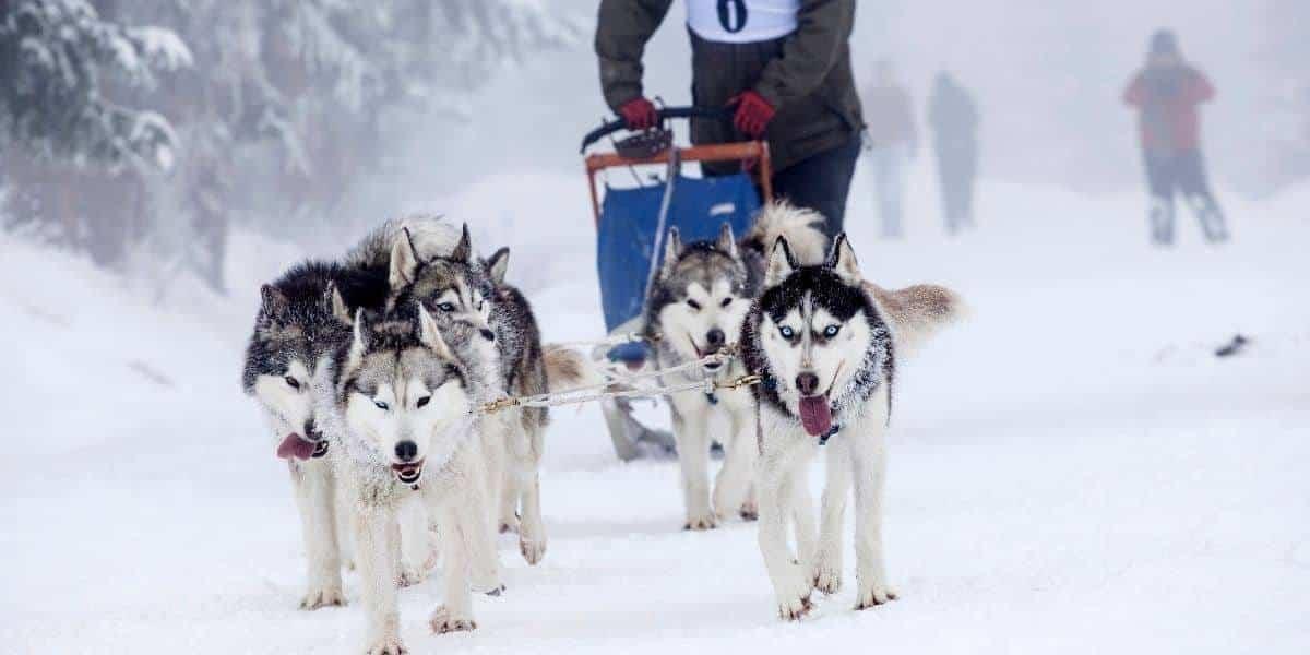 Siberian-Husky-Pull-Training