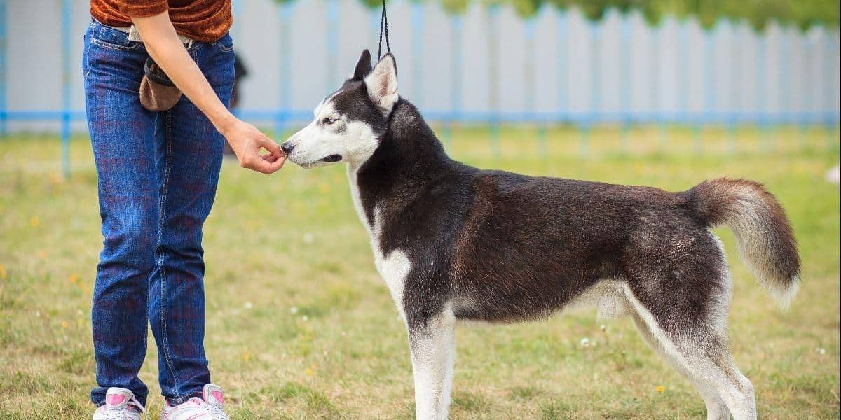 black and white husky getting a treat as a reward for good behavior