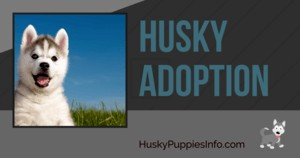 Husky Adoption