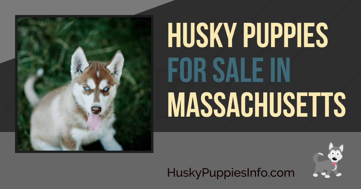 Siberian Husky Puppies for Sale in MA