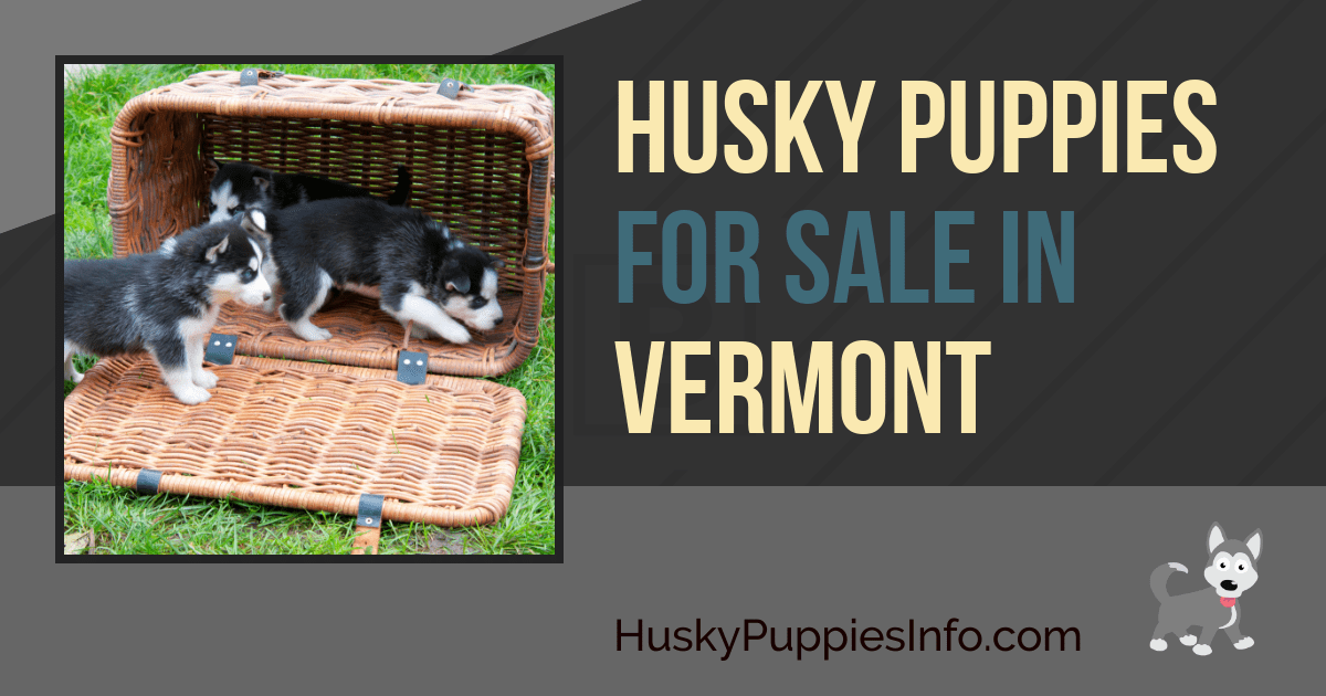 Siberian Husky Puppies For Sale And Breeders In Vermont Vt