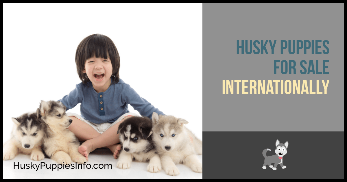 Husky Puppies For Sale Internationally
