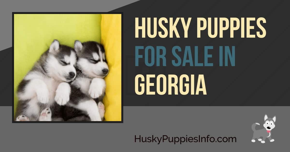 Husky Puppies For Sale in Georgia