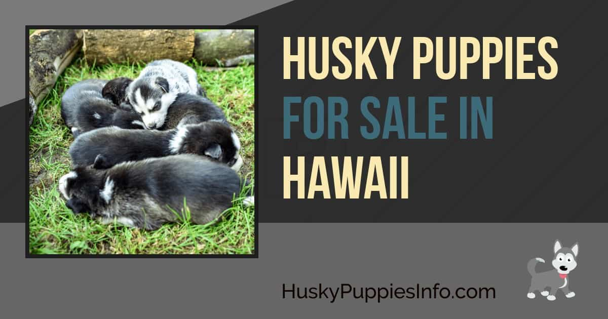 Husky Puppies For Sale in Hawaii
