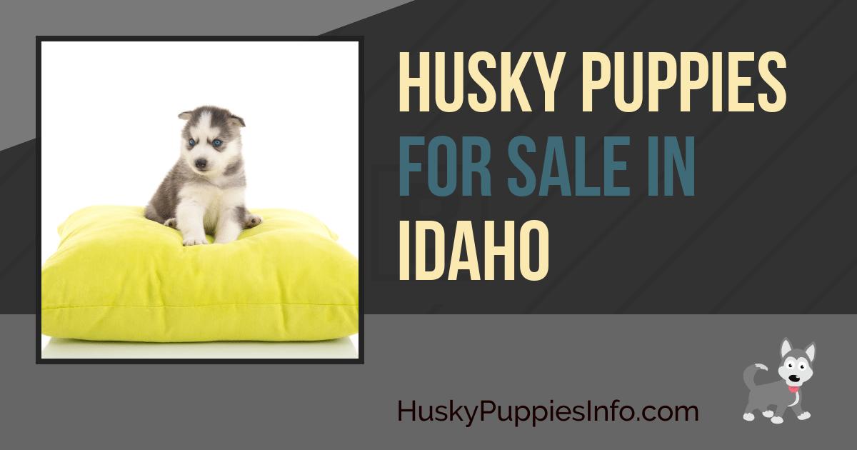 Siberian Husky Puppies For Sale in Idaho
