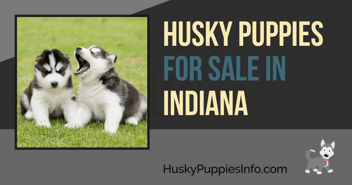 Husky Puppies For Sale in Indiana