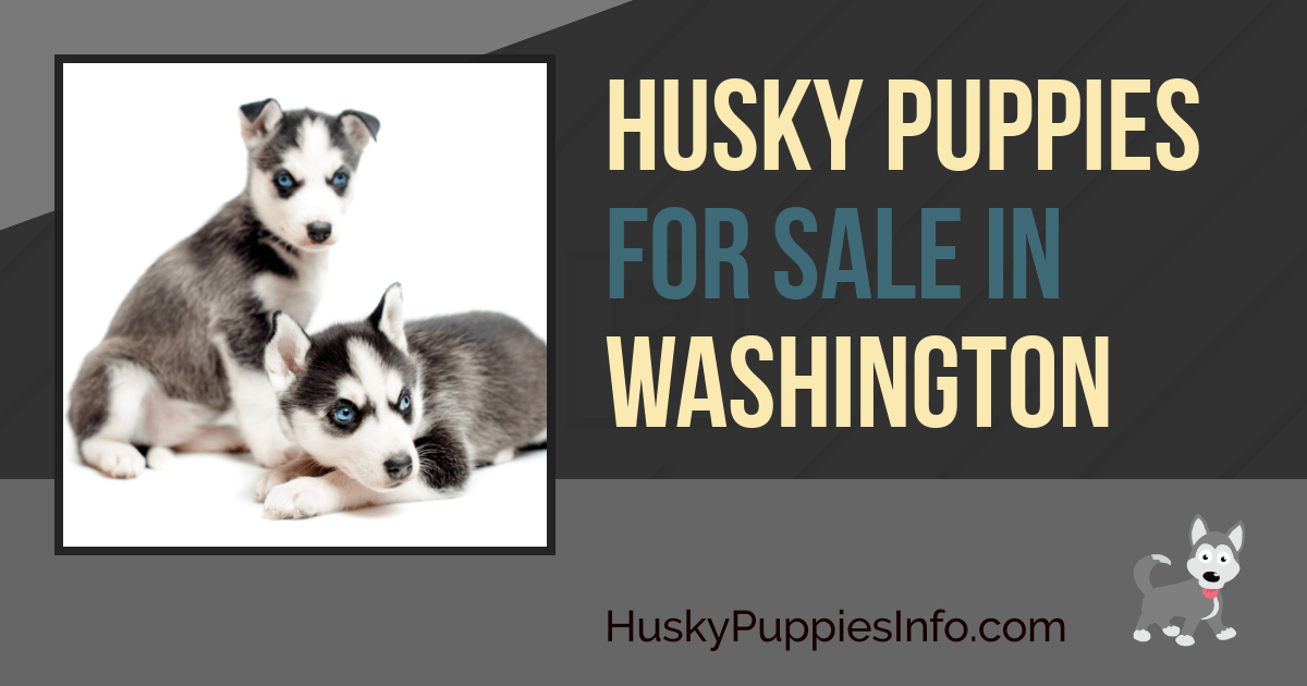 Husky Puppies For Sale in Washington