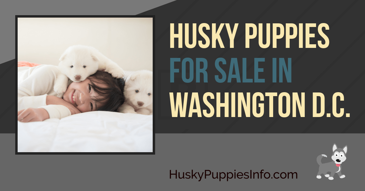 Husky Puppies For Sale in the District Of Columbia