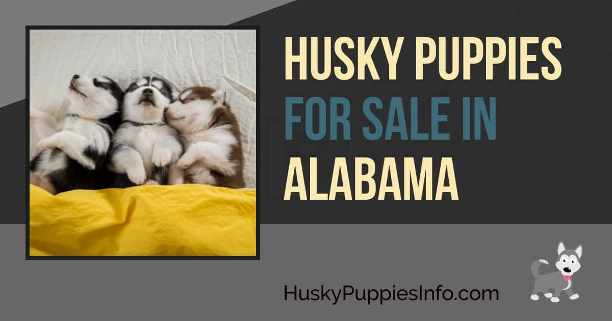 Husky Puppies for Sale in Alabama