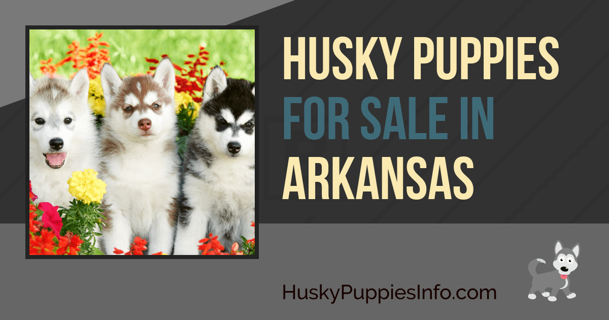 Siberian Husky Puppies for Sale in Arkansas