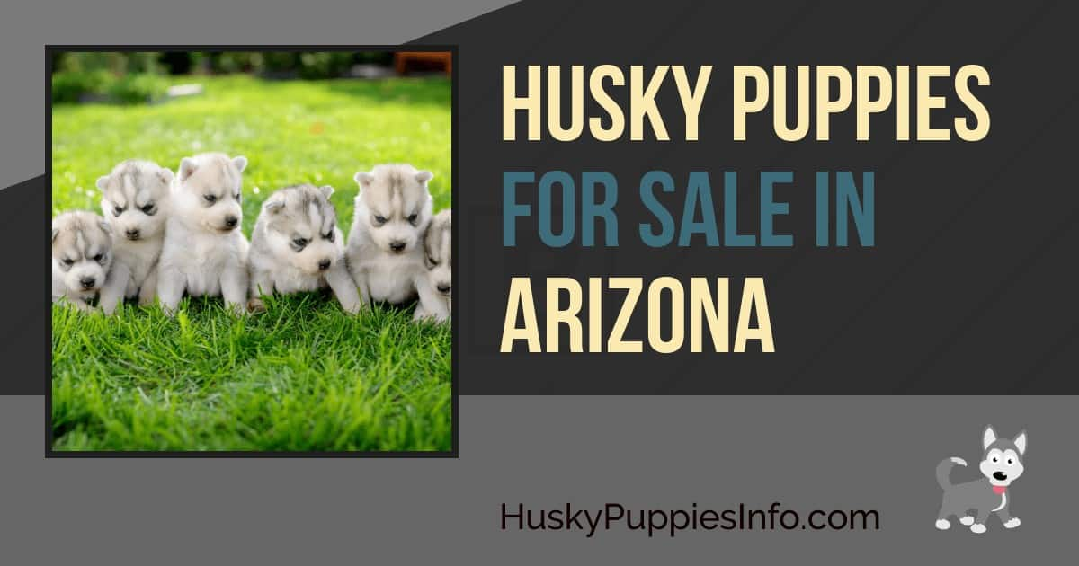 Siberian Husky Puppies For Sale In Arizona