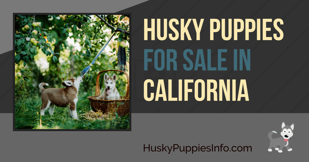 Siberian Husky Puppies For Sale In California