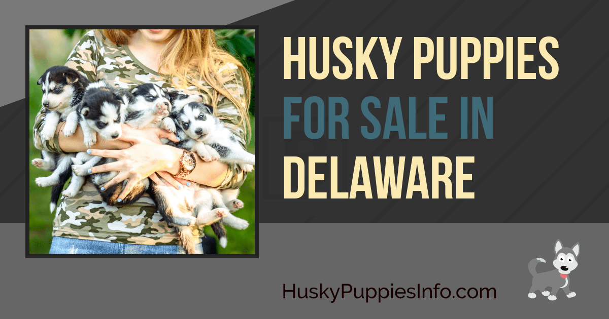 Siberian Husky Puppies For Sale In Delaware