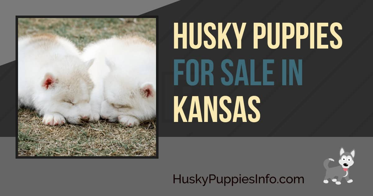 Siberian Husky Puppies For Sale In Kansas